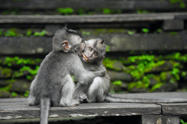 Two Gray Monkey