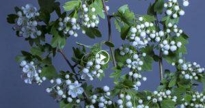 Weissdorn Trees Free 4K Video