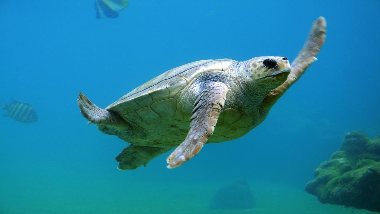 Sea Tortois